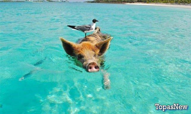 Плывущая свинья с чайкой на голове - картинка