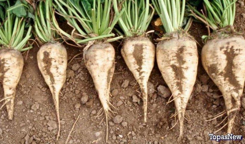 Эффективные удобрения для выращивания сахарной свеклы